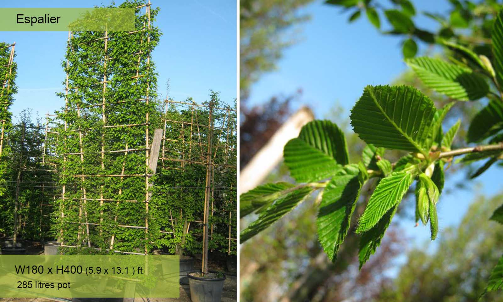 Carpinus Betulus - Espalier