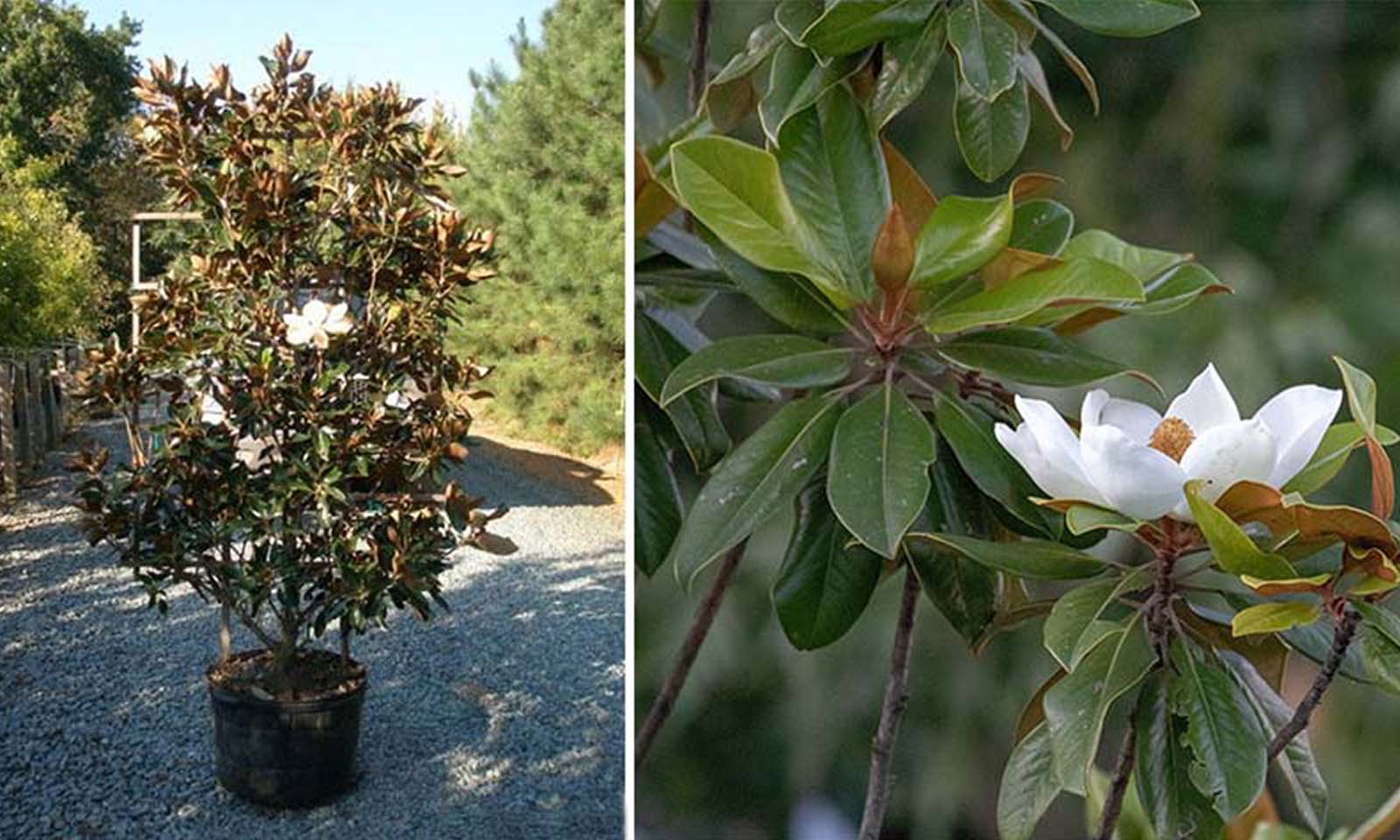 Magnolia Grandiflora - Espalier