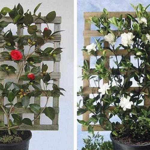 Camellia Sasanqua (Sasanqua Camellia) - Espalier
