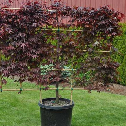 Acer Palmatum 'Bloodgood' (Japanese Maple 'Bloodgood') – Espalier