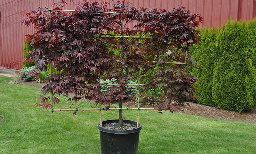 Acer Palmatum 'Bloodgood' (Japanese Maple 'Bloodgood') – Espalier