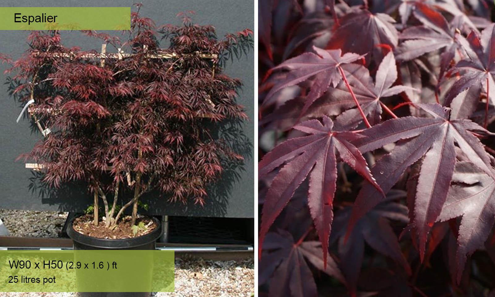 Acer Palmatum Bloodgood – Espalier