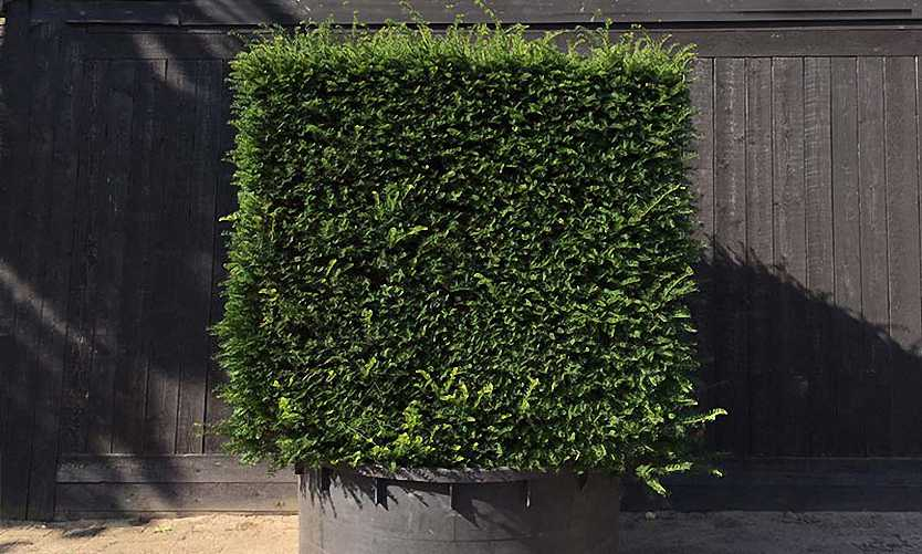 Taxus Baccata (English Yew)– Cube