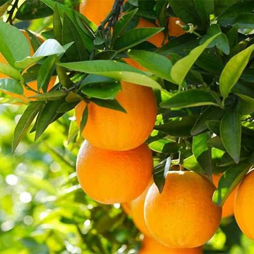 Citrus x Sinensis (Orange Trees) – Espalier