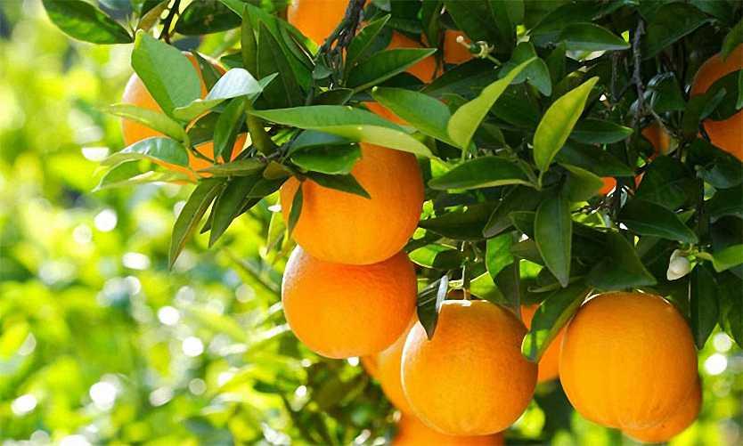 Citrus x Sinensis (Orange Trees) – Espalier