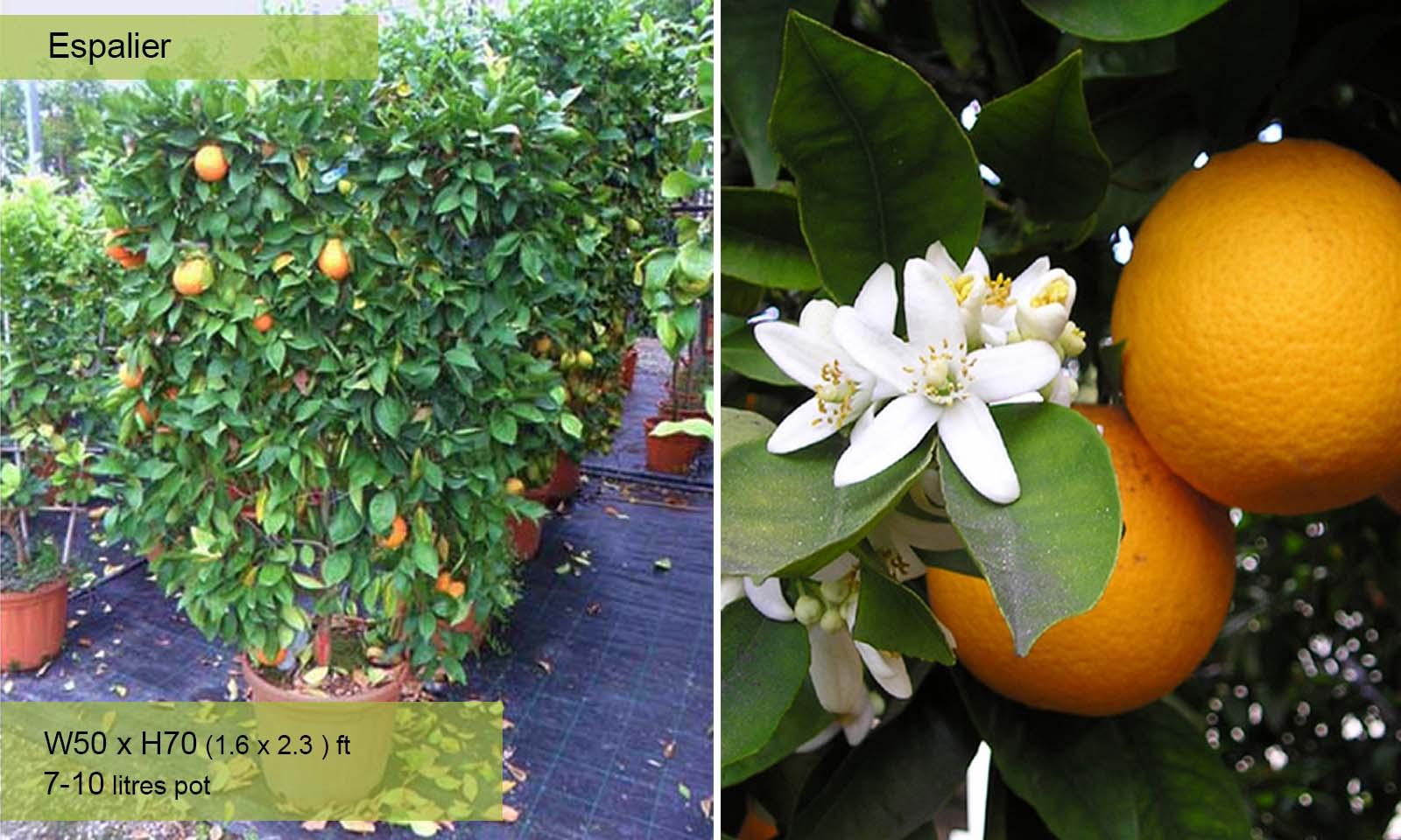 Citrus x Sinensis – Espalier