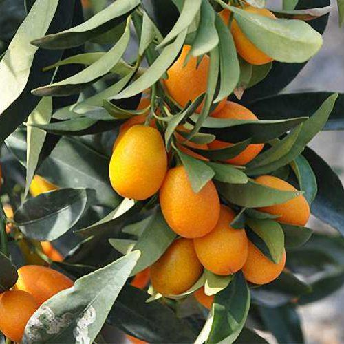 Citrus Kumquat Nagami (Kumquats) – Espalier