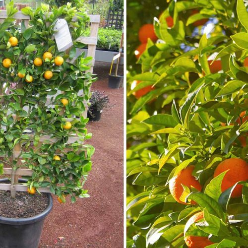 Citrus x Nobilis (Mandarin) – Espalier