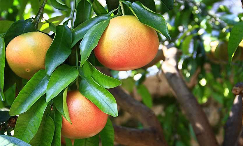Citrus x Paradisi – Espalier