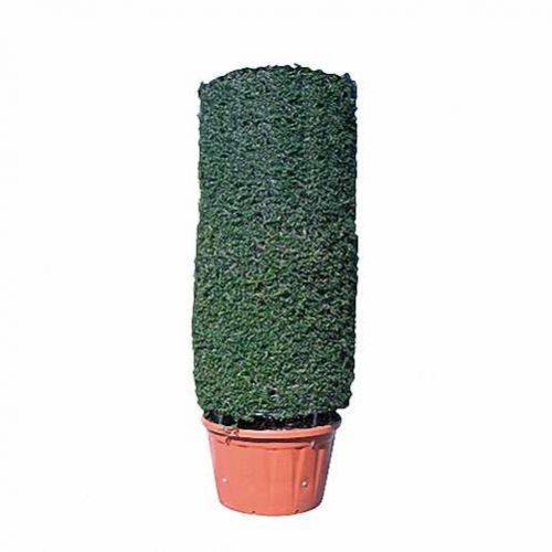 Topiary Cylinder (Ligustrum Jonandrum)