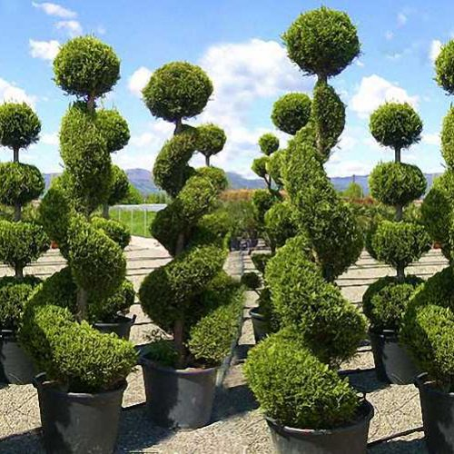 Cupressocyparis Leylandii Castlewellan Gold (Leyland Cypress) – 3 Balls