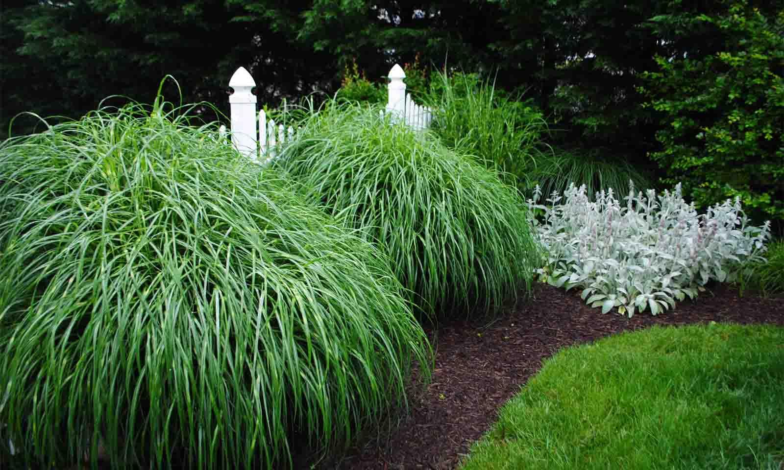 Miscanthus Sinensis Zebrinus Garden Plants Online