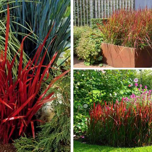 Imperata Cylindrica Red Baron (Japanese Blood Grass)