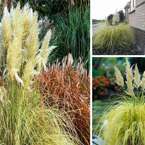 Cortaderia Selloana 'Splendid Star' ('Splendid Star' Pampas Grass)