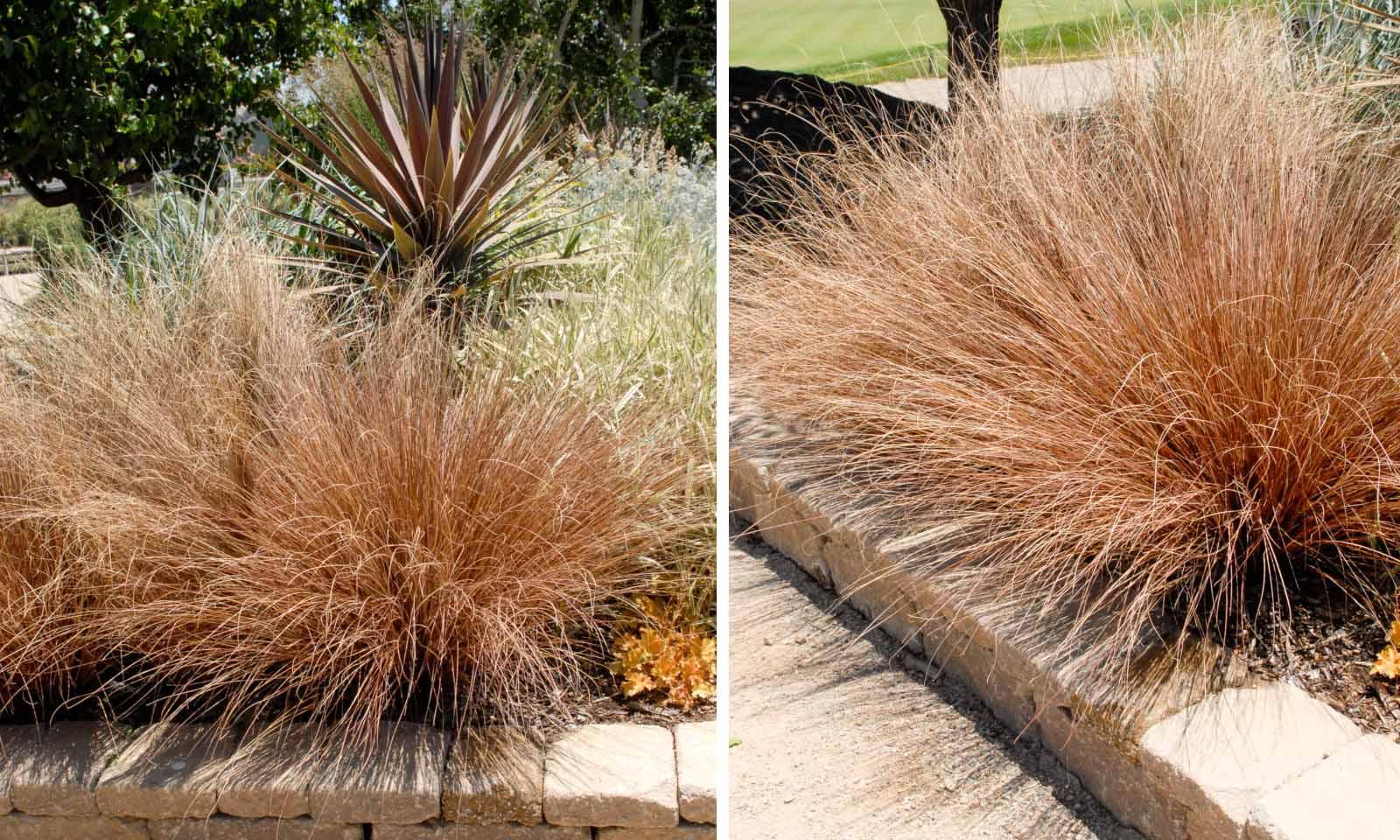 Carex Bushananii