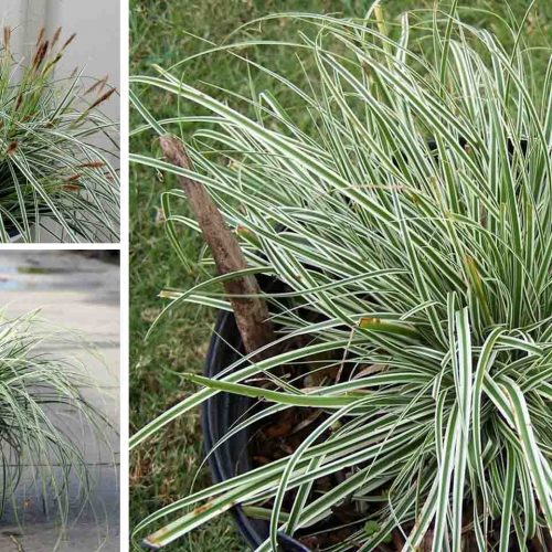 Carex Oshimensis 'Everest' (Japanese Sedge 'Everest')