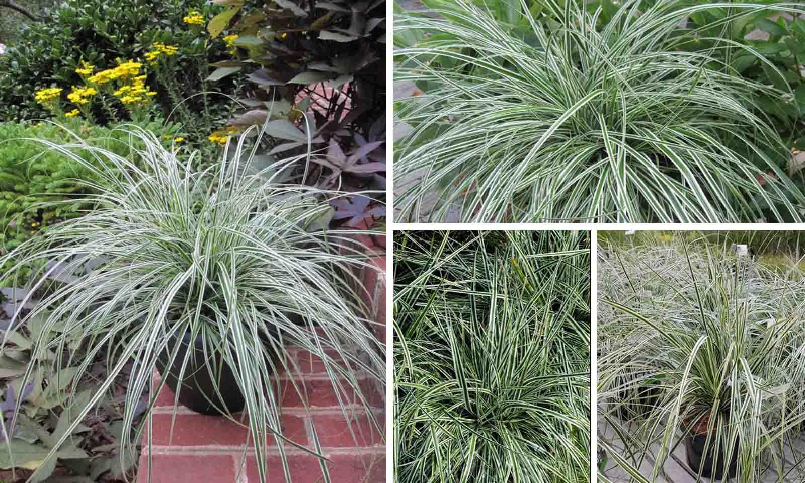 Carex Oshimensis Everest