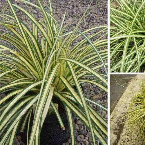 Carex Oshimensis Evergold (Japanese Sedge 'Evergold')