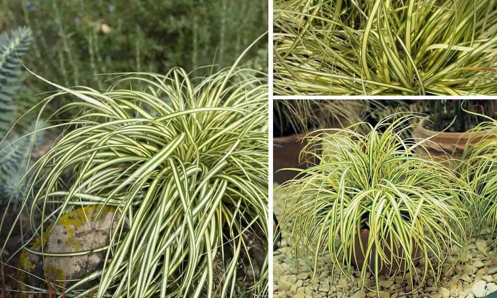 Carex Oshimensis Evergold (Japanes Sedge Evergold)