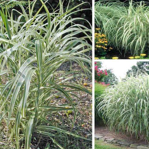 Miscanthus Sinensis Cosmopolitan (Maiden Grass Cosmopolitan)