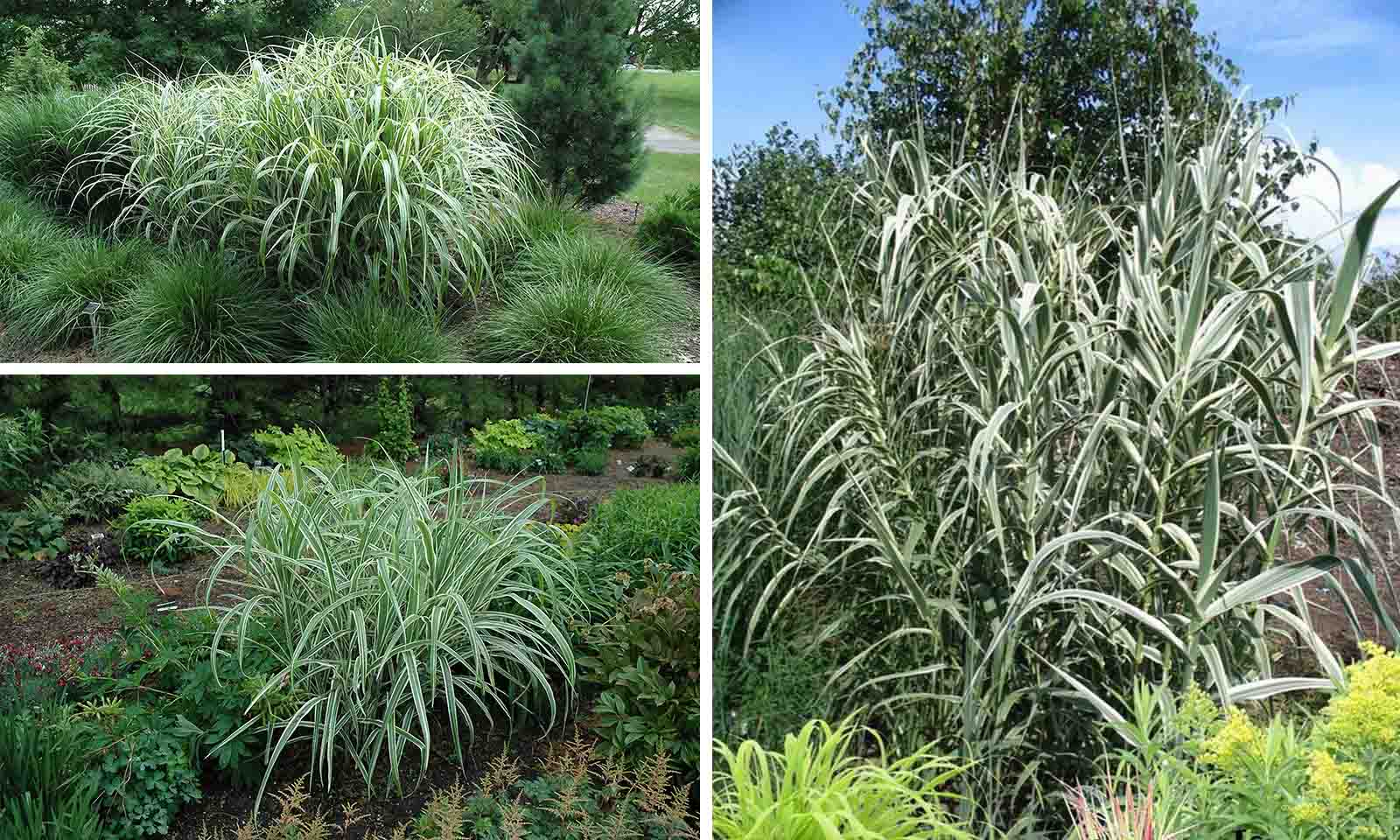Miscanthus Sinensis Cosmopolitan (Maiden Grass Cosmopoliten)