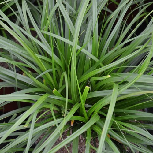 Carex Oshimensis Evergreen (Japanese Sedge 'Evergreen')
