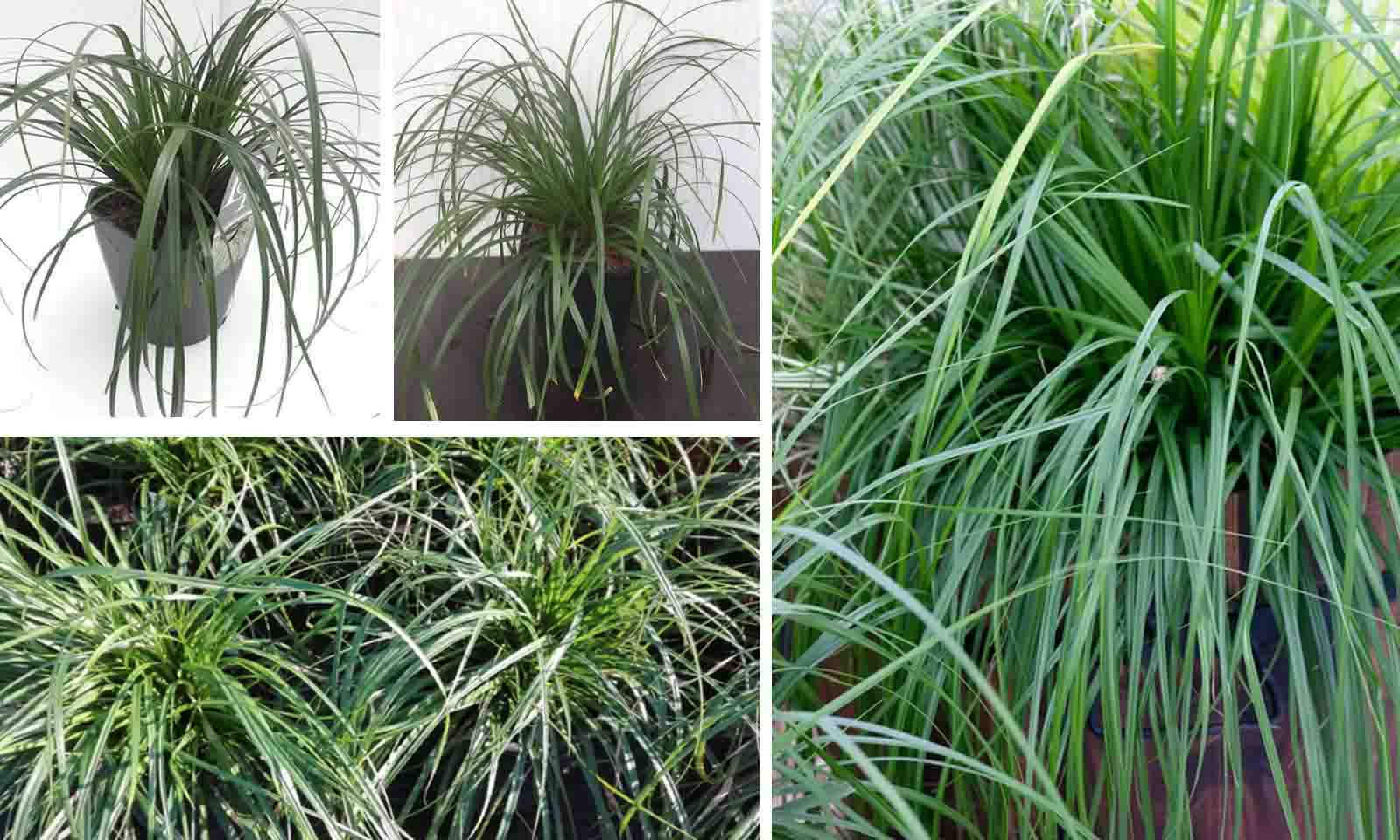 Carex Oshimensis Evergreen (Japanes Sedge Evergreen)