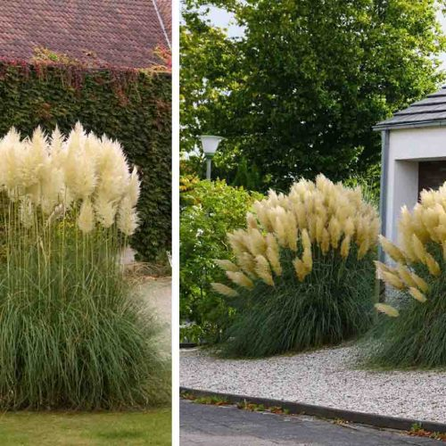 Cortaderia Selloana 'Gold Band' ('Gold Band' Pampas Grass)