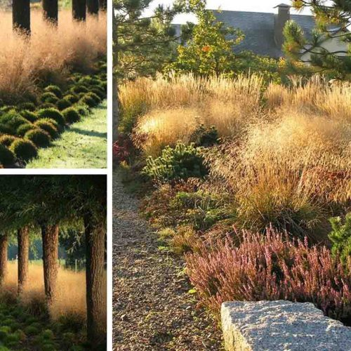 Deschampsia Cespitosa 'Goldtau' (Tufted Hair Grass 'Goldtau')