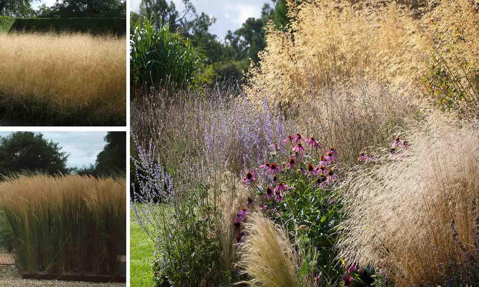 Deschampsia Cespitosa Goldtau (Tufted Hair Grass Goldtau)