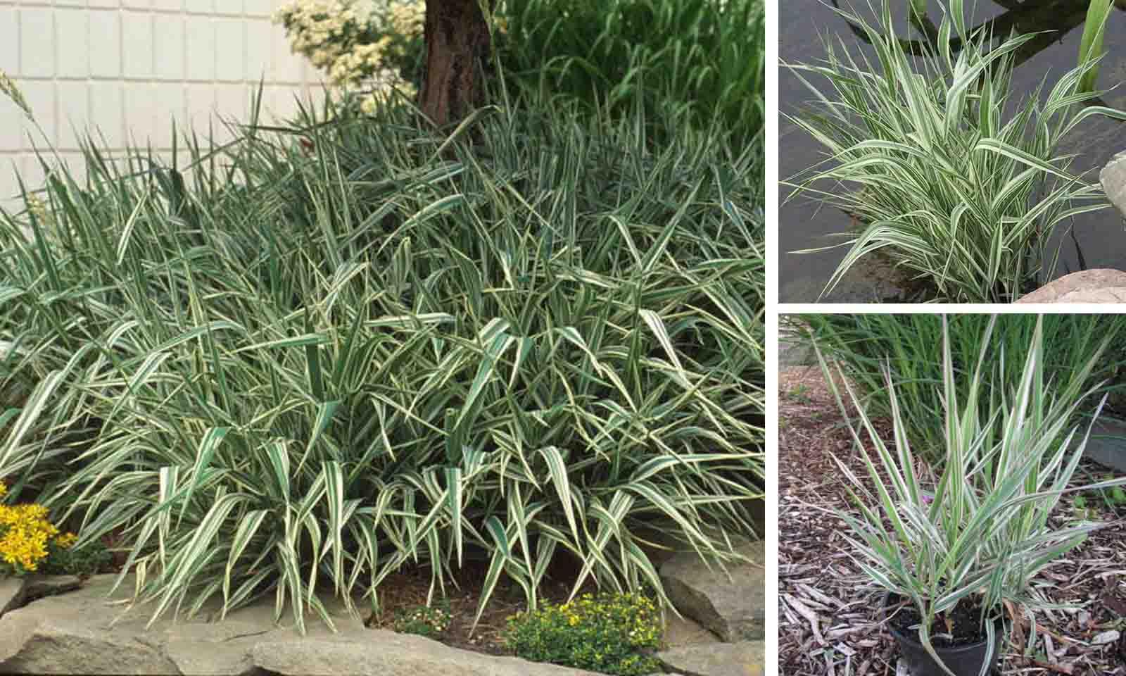 Phalaris Arundinacea Feesey (Reed Canary Grass)
