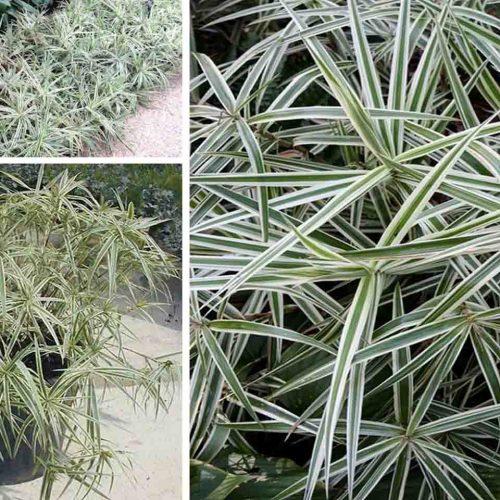 Carex Phyllocephala Sparkler