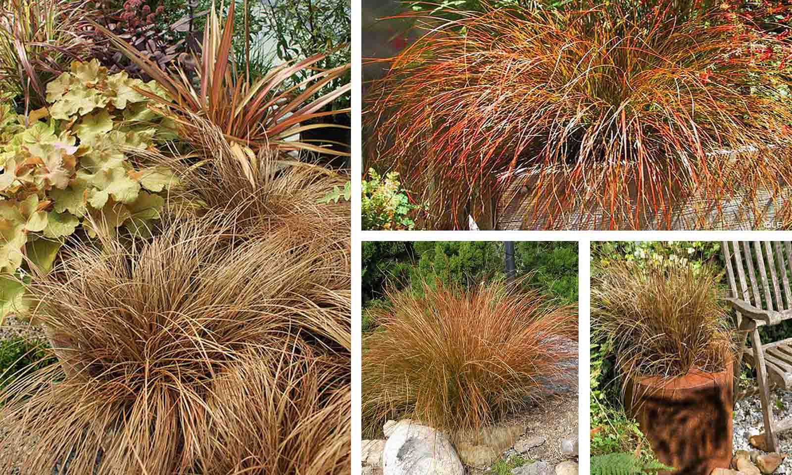 Carex Tenuiculmis Cappuccino