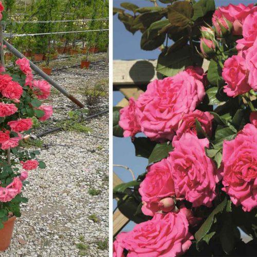 Pink Roses Tantau - Climbing