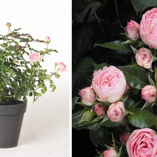 Pink Roses Tantau - Shrub