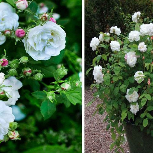 White Roses Tantau – Shrub
