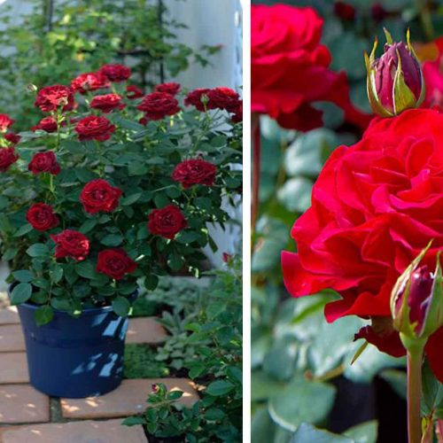 Red Roses Tantau – Shrub