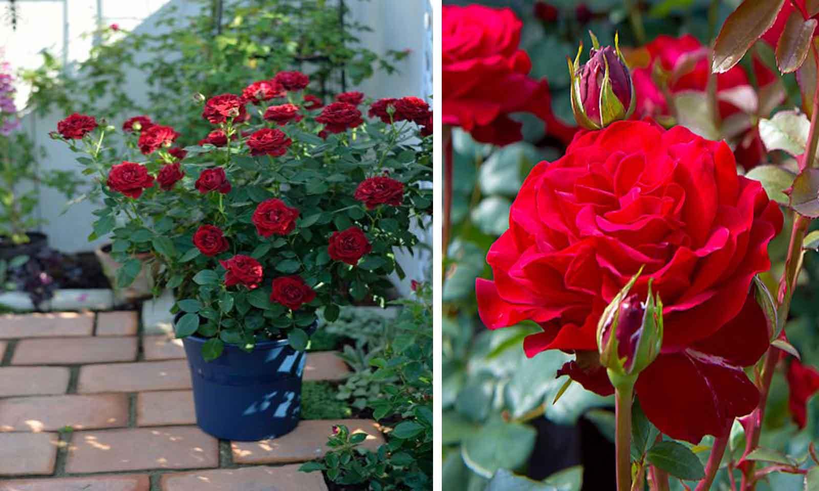 Red Roses Tantau – Shrub