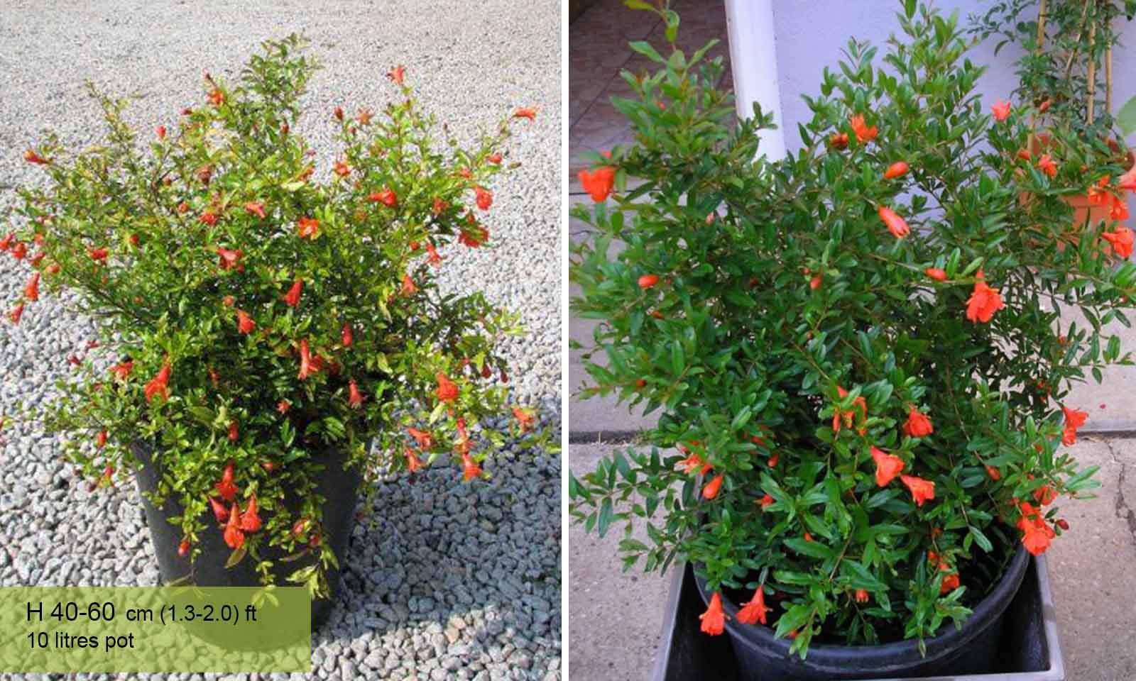 Punica Granatum Nana (Pomegranate Tree) - Shrub