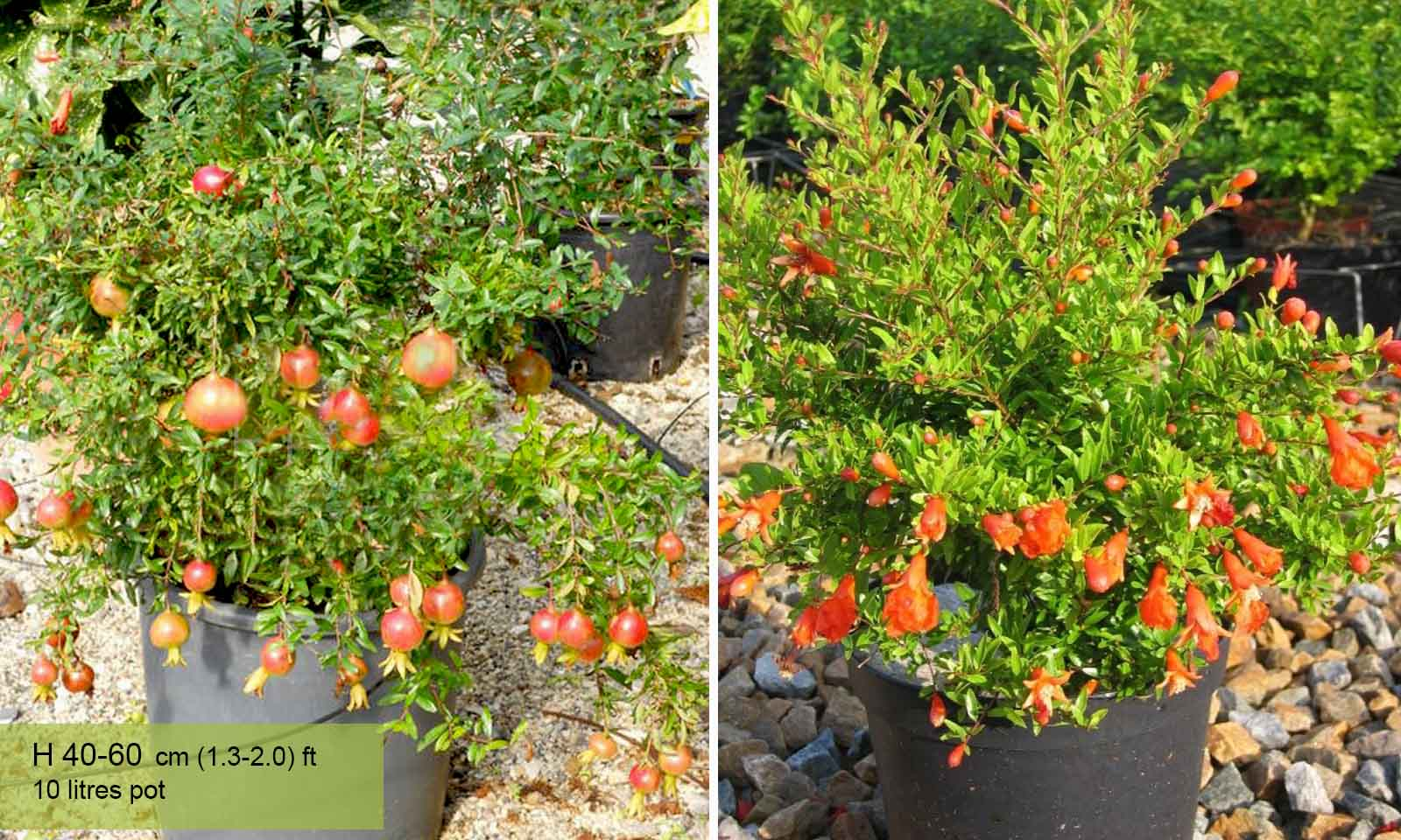 Punica Granatum Nana (Pomegranate Tree) - Shrub