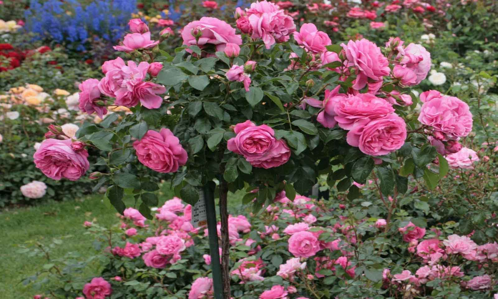 Pink Roses – Half Standard