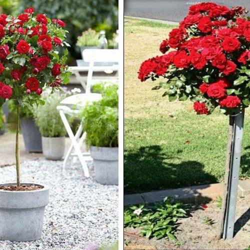 Red Roses – Half Standard