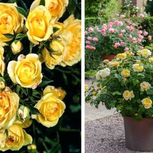 Yellow Roses – Shrub