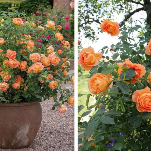 Orange Roses – Shrub