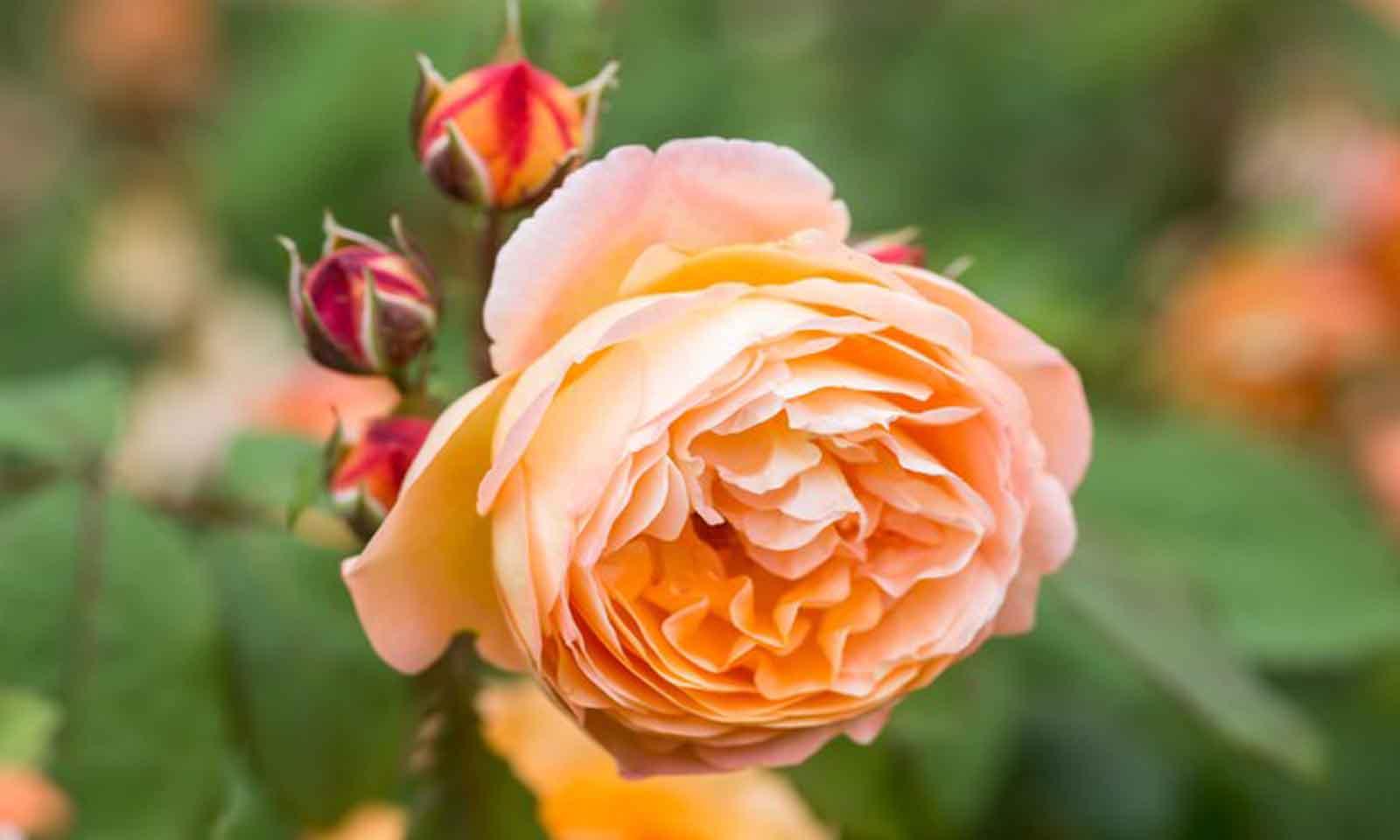 Orange Roses – Half Standard