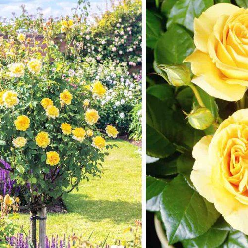 Yellow Roses – Half Standard
