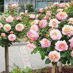 Rosa 'Augusta Luise' (Tangust Rose) – Half Standard