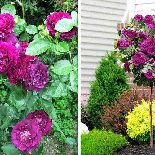 "Rosa ""Twilight Zone"" – Half Standard"