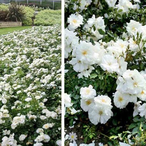White Roses - Ground Cover