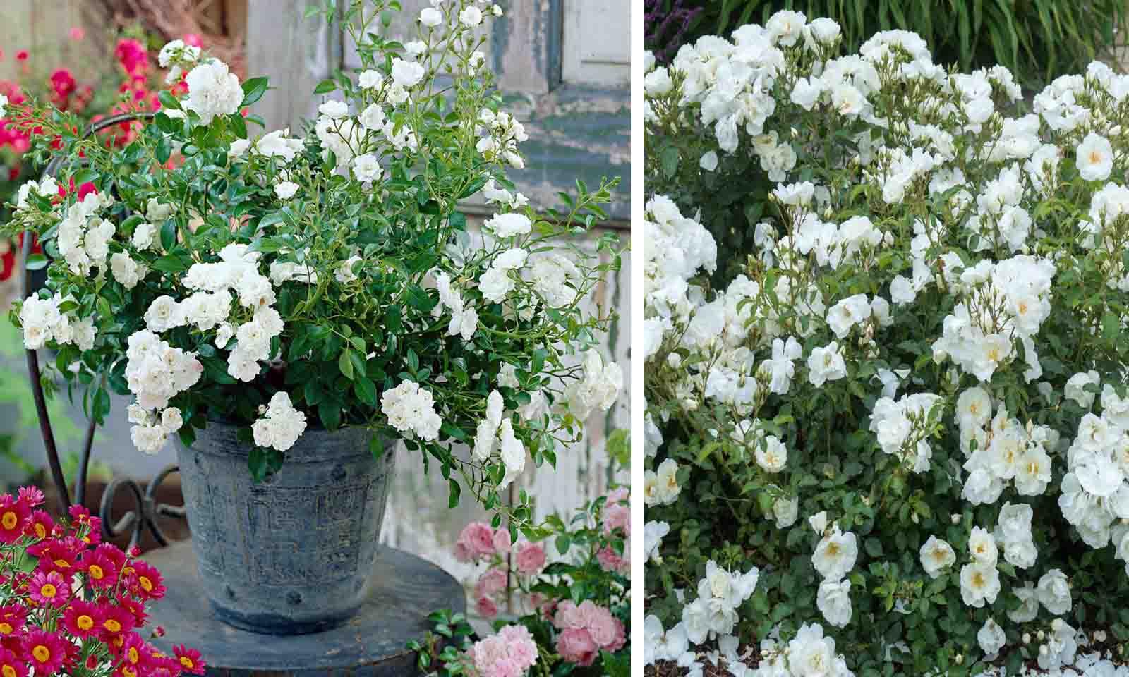 White Roses - Ground Cover